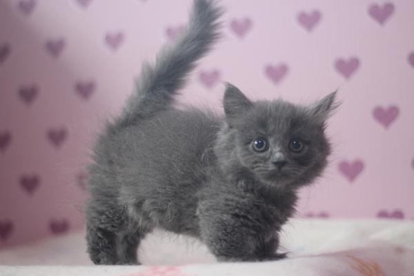 しっぽがまっすぐな子猫マンチカ